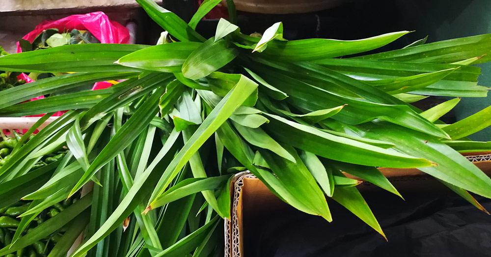Daun Pandan (ダウン パンダン:パンダンリーフ) 【英】 Pandanus Leaves